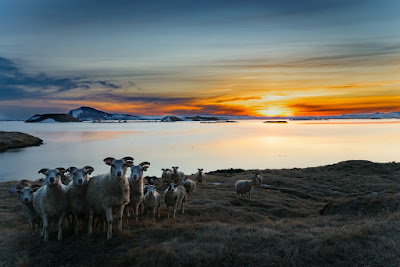 Sheep during Iceland's Midnight Sun. In winter it's mostly darkness