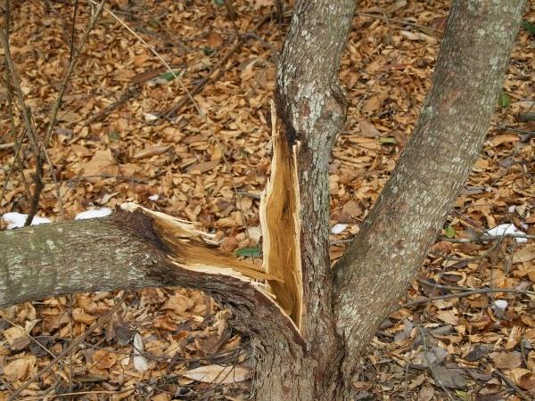 Curar heridas en árboles - Guia de jardin