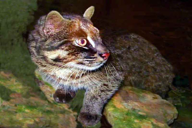 Image of an Iriomote Wildcat, Yamaneko