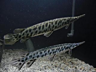 Jenis Ikan Aligator Florida Gar