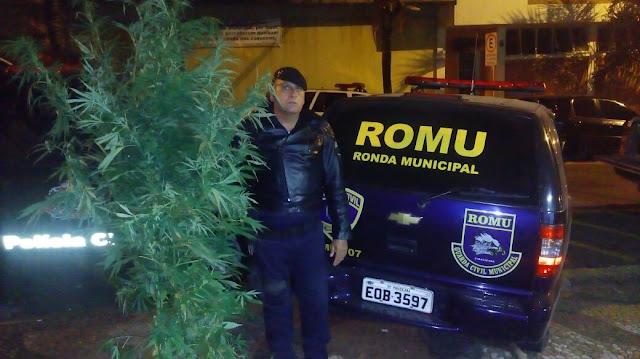 Guarda Civil Ambiental e ROMU encontram 12 pés de maconha em Piracicaba