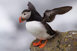 merupakan salah satu dari spesies alcids kecil  Mengenal Puffin, Penguin yang Mahir Terbang dab Menyelam