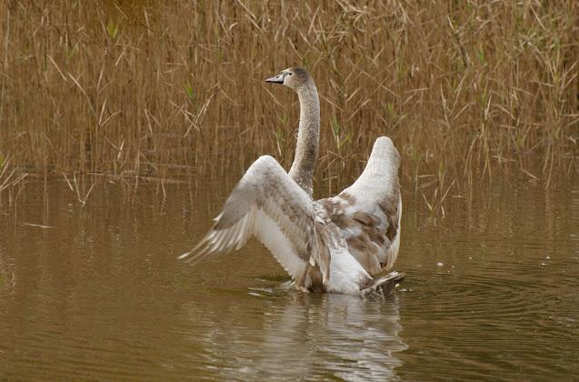 Con thiên nga không thể bay được vì hồ nước quá nhỏ