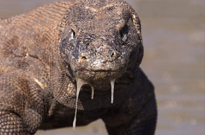 Komodo dragon facts