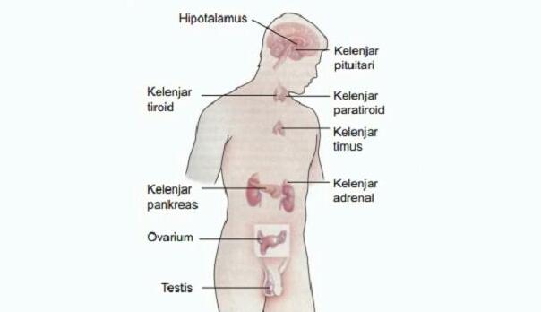 Hormon berasal dari kata hormaein yang berarti menggiatkan atau mengacu Sistem Hormon Manusia
