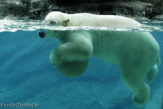 Polar Bear Wallpaper | Wild Animals