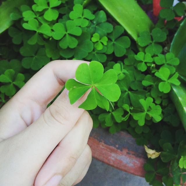 Hình Ảnh Cỏ 4 Lá Đẹp & Mang Đến May Mắn, Niềm Tin, Hy Vọng, Tình Yêu