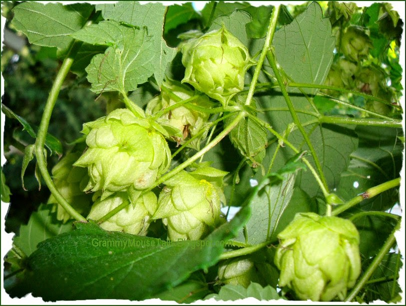 hops - signs of autumn - green ripe hops heads - photo