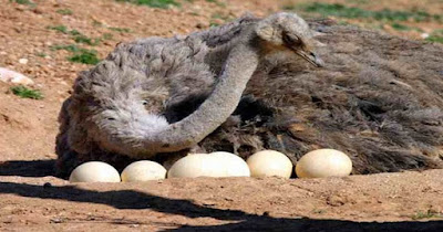 ڤیدۆ:ساتی تروكانی هێلكهی نهعامه Video: Watch how the ostrich egg hatch بالفيديو: شاهد كيف تفقس بيضة النعامة