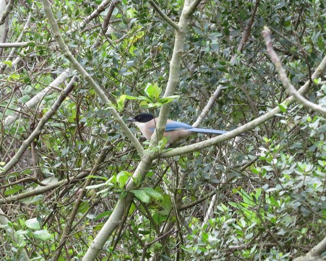 Iberian Magpie - Aljezur, Portugal