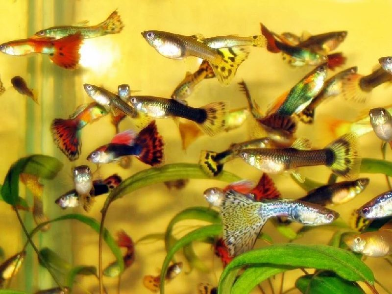 jenis ikan guppy lokal