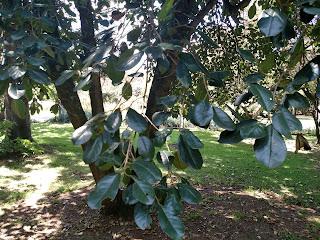 Motilon – hyeronima colombiana colombia andes tree arbol leaves bark