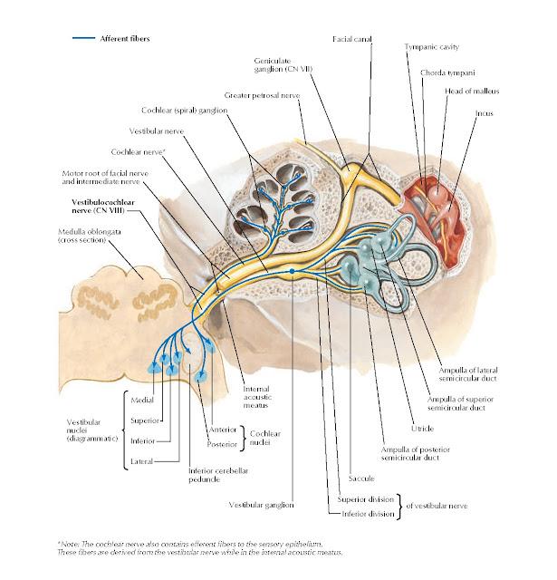 Vestibulocochlear Nerve (CN VIII): Schema Anatomy
