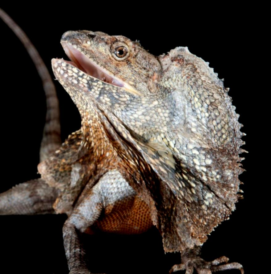 Frilled Lizard National Geographic