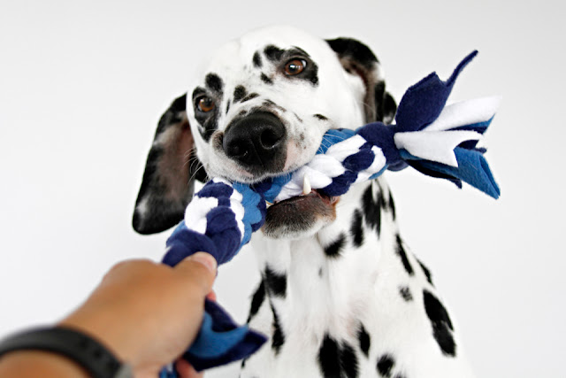 Dalmatian dog playing with blue and white fleece tug toy