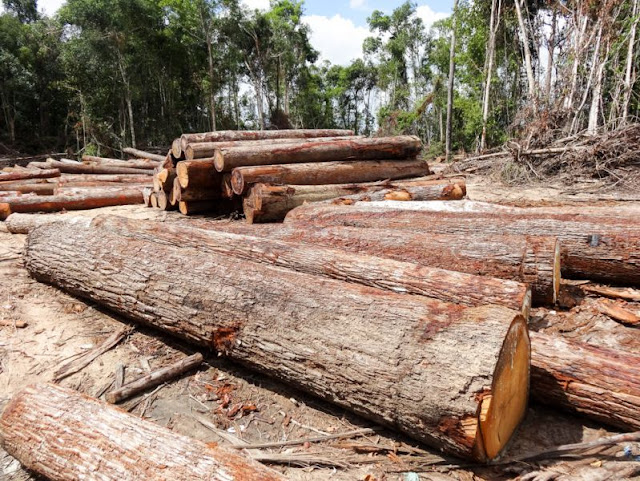 Timber that was allegedly illegally logged sits inside an ELC belonging to tycoon Try Pheap in Kampong Thom province in 2013. Photo supplied