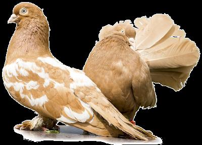 Cara Ternak Burung Dara