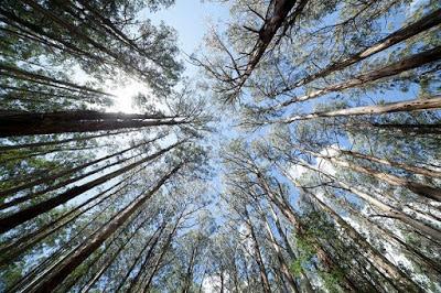 Το δάσος με τους γιγάντιους ευκάλυπτους!