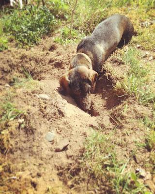 mäyräkoira kaivamassa kuoppaa nurmikkoon ja tutkii