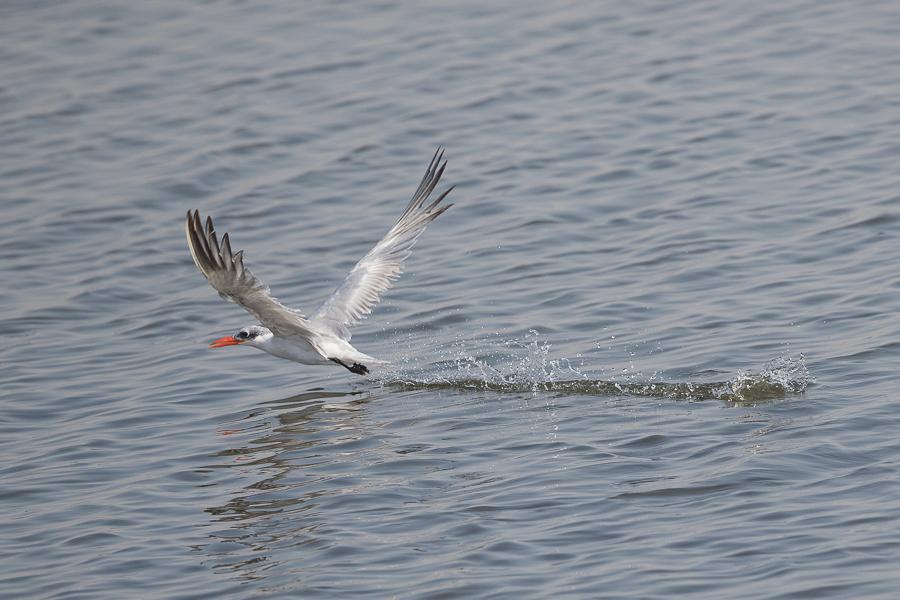 Caspian Tern2