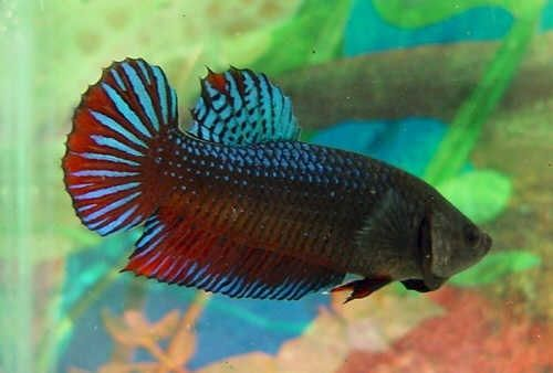 Image Siamese Fighting Fish Natural Habitat