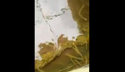 Ular diserang ribuan lintah di kolam.