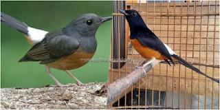 Burung Murai Batu - Cara Membedakan Burung Murai Batu Jantan Dewasa dan Burung Murai Batu Betina Dewasa - Penangkaran Burung Murai Batu