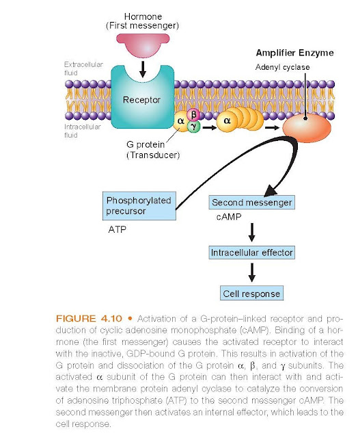 Activation of a G-protein–linked receptor and production of cyclic adenosine monophosphate (cAMP).