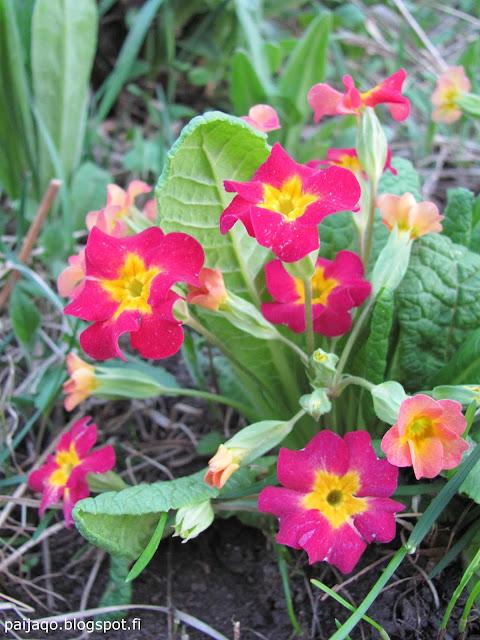 toukokuu kevätesikko