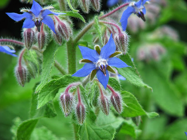 Fleurs de bourrache pour recette de salade bio aux fleurs comestibles