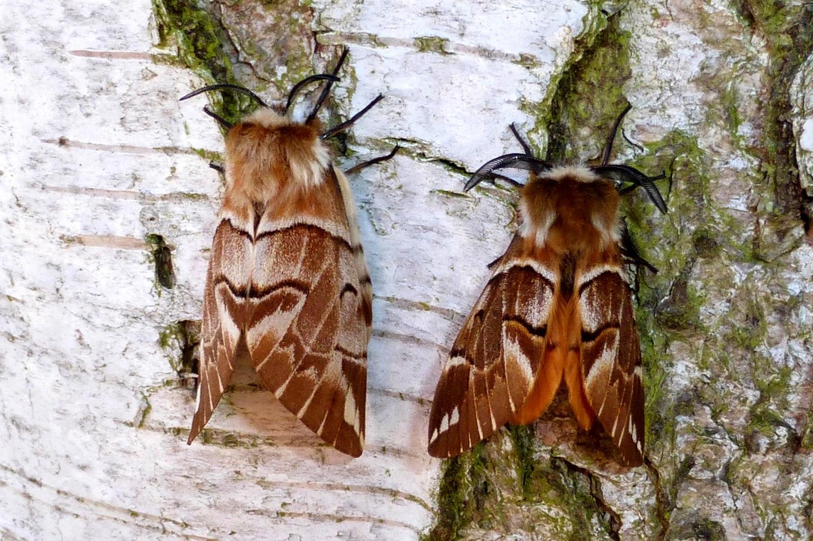 Endromis versicolora pair
