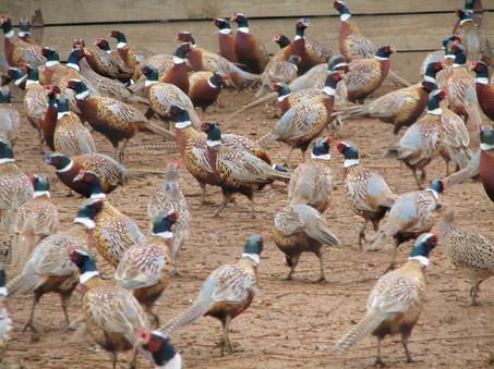 Full O'Bull Gazette: PA Game Commission To Conduct Pheasant