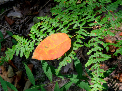 orange leaf on green fern
