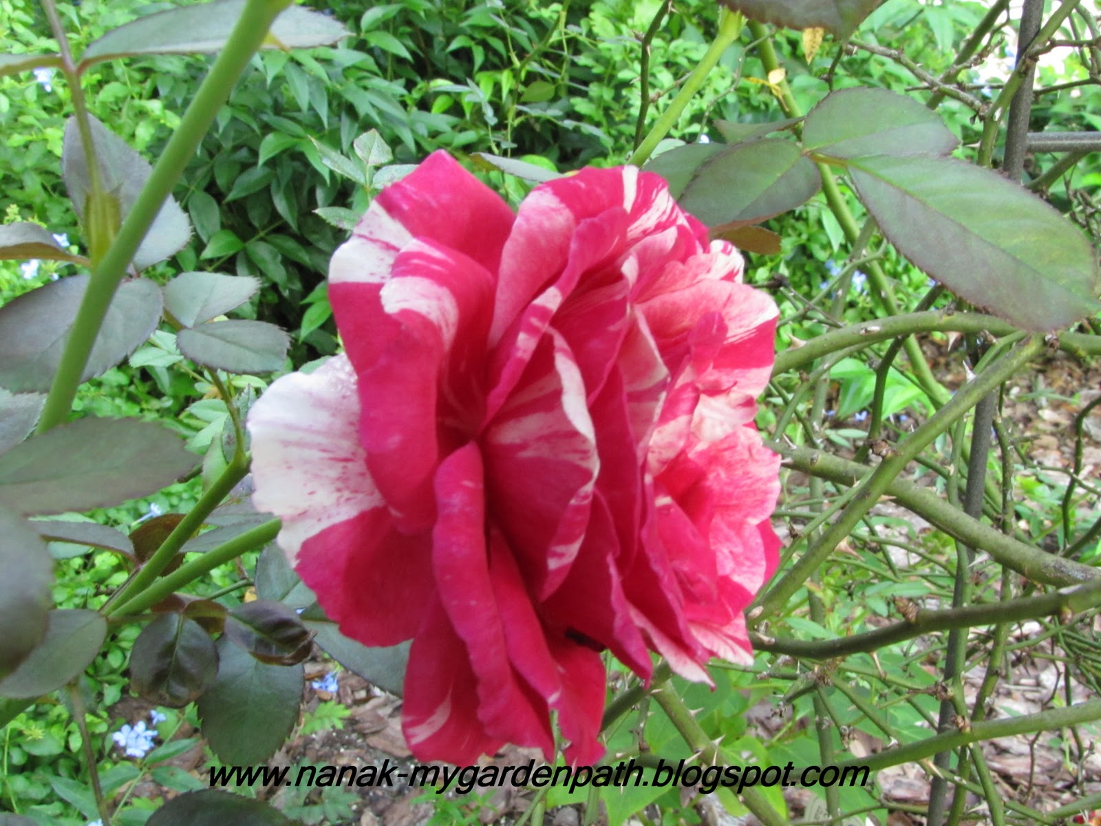 Love Garden Roses: My Garden Path: Roses Love Rain