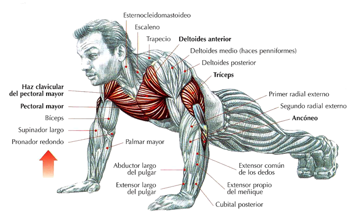Beneficios de hacer flexiones (PushUps). | Push Ups