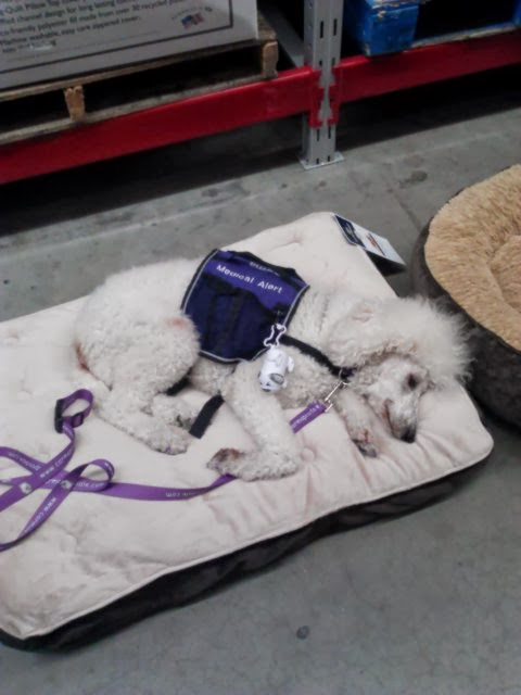 Poodle laying on dog bed in store with smile on face