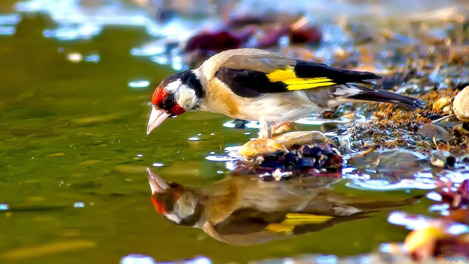 jilguero bird drinking water - photo #1