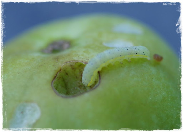Raupe der Gemüseeule frisst ein Loch in die Tomate - Gartenblog Topfgartenwelt
