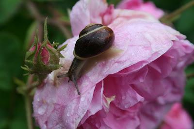 Schnecke auf einer Rose