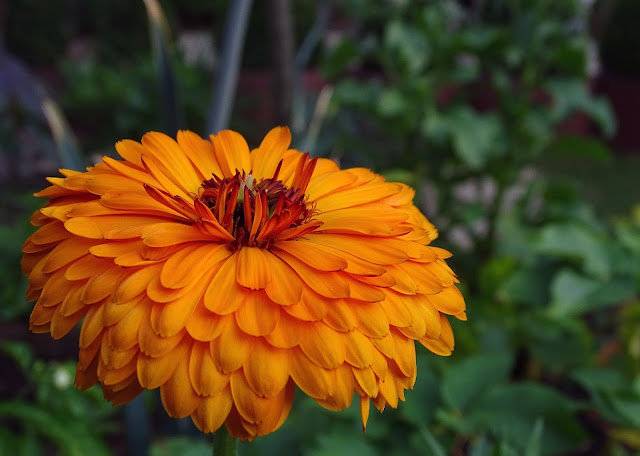 Spiselige blomster, ringblomst. Furulunden