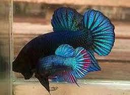 Ikan Cupang Bangkok
