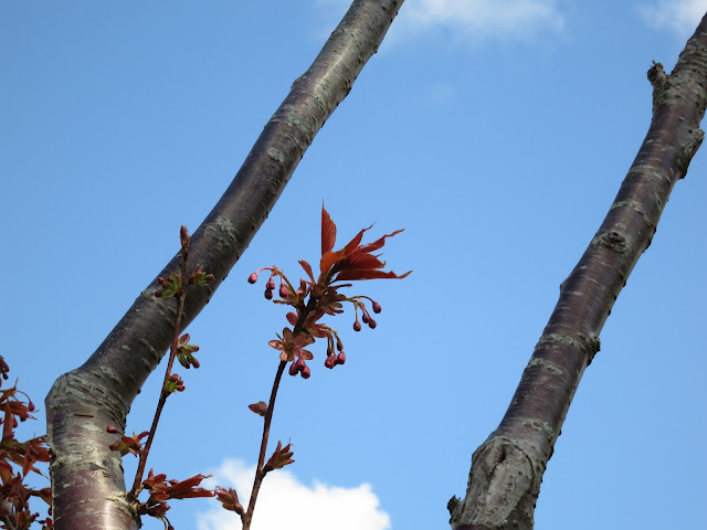 Cherry flower buds between two branches of tree with blue sky behind.