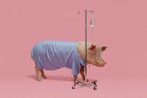 https://static01.nyt.com/images/2018/11/18/magazine/18mag-Xenotransplantation-image1/18mag-Xenotransplantation-image1-mediumThreeByTwo210.jpg