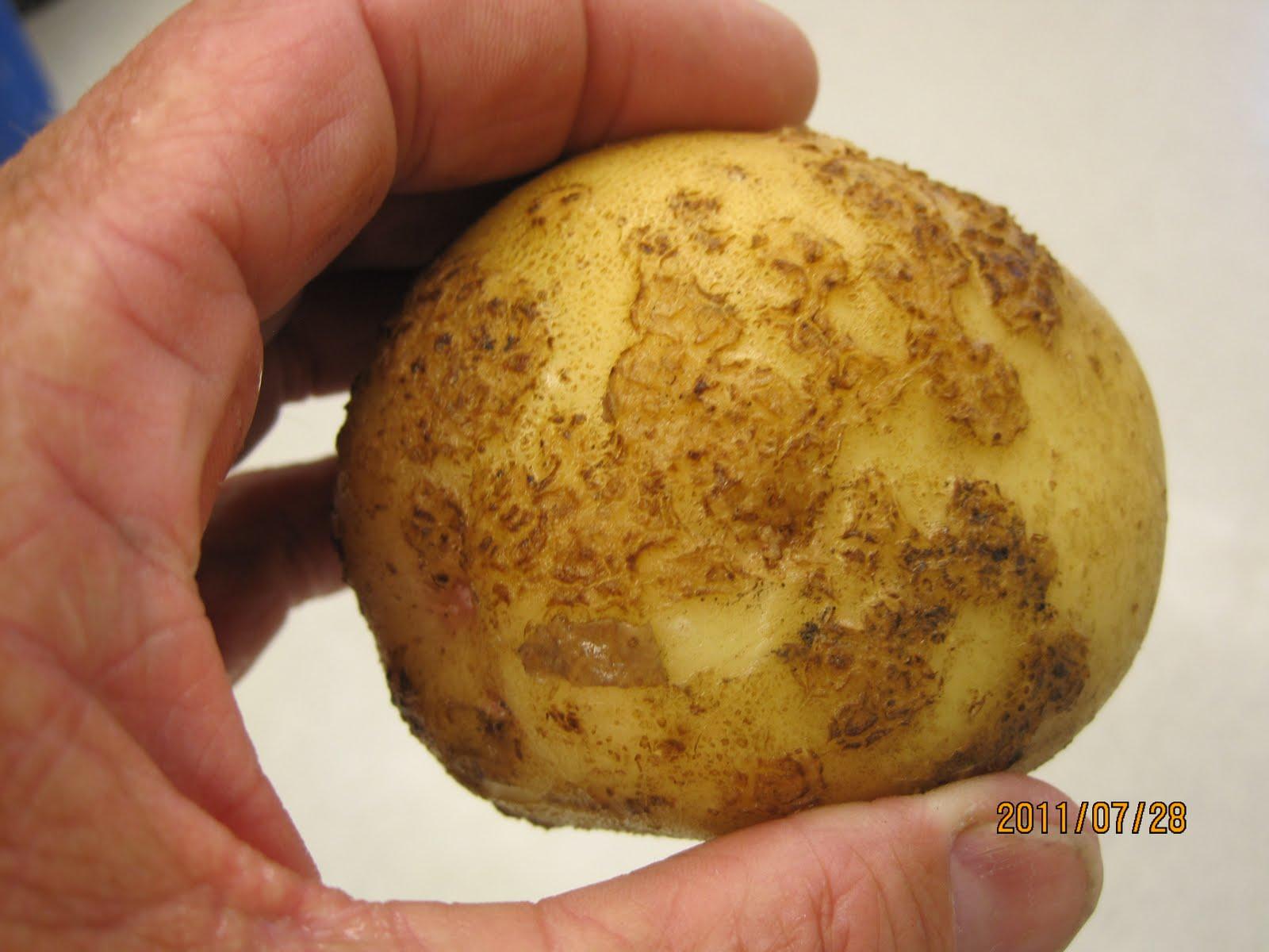 Image result for common scab potato