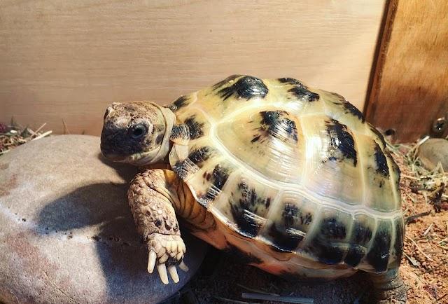 Rùa Nga - Russian Tortoise