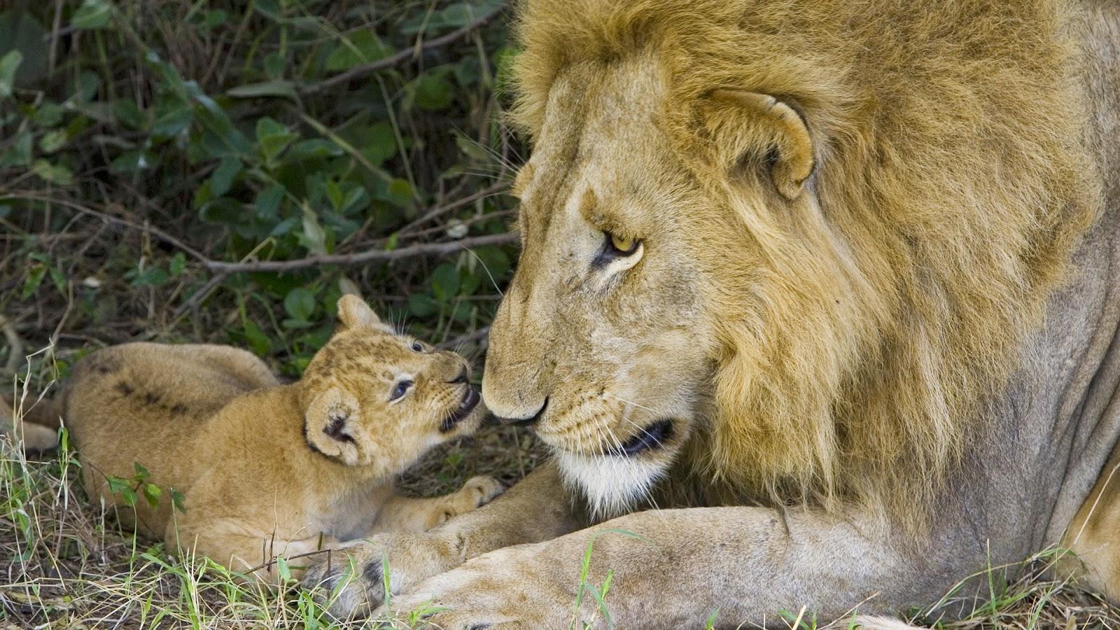 Wallpaper met leeuwin met haar jong