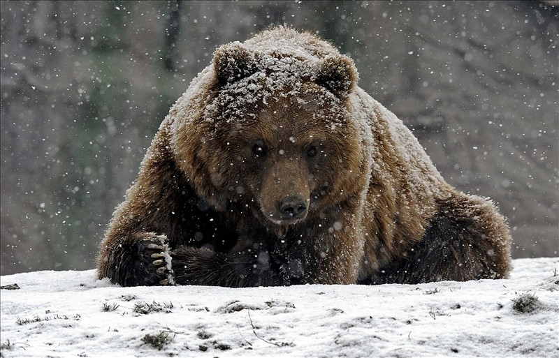 grizzly bear 007