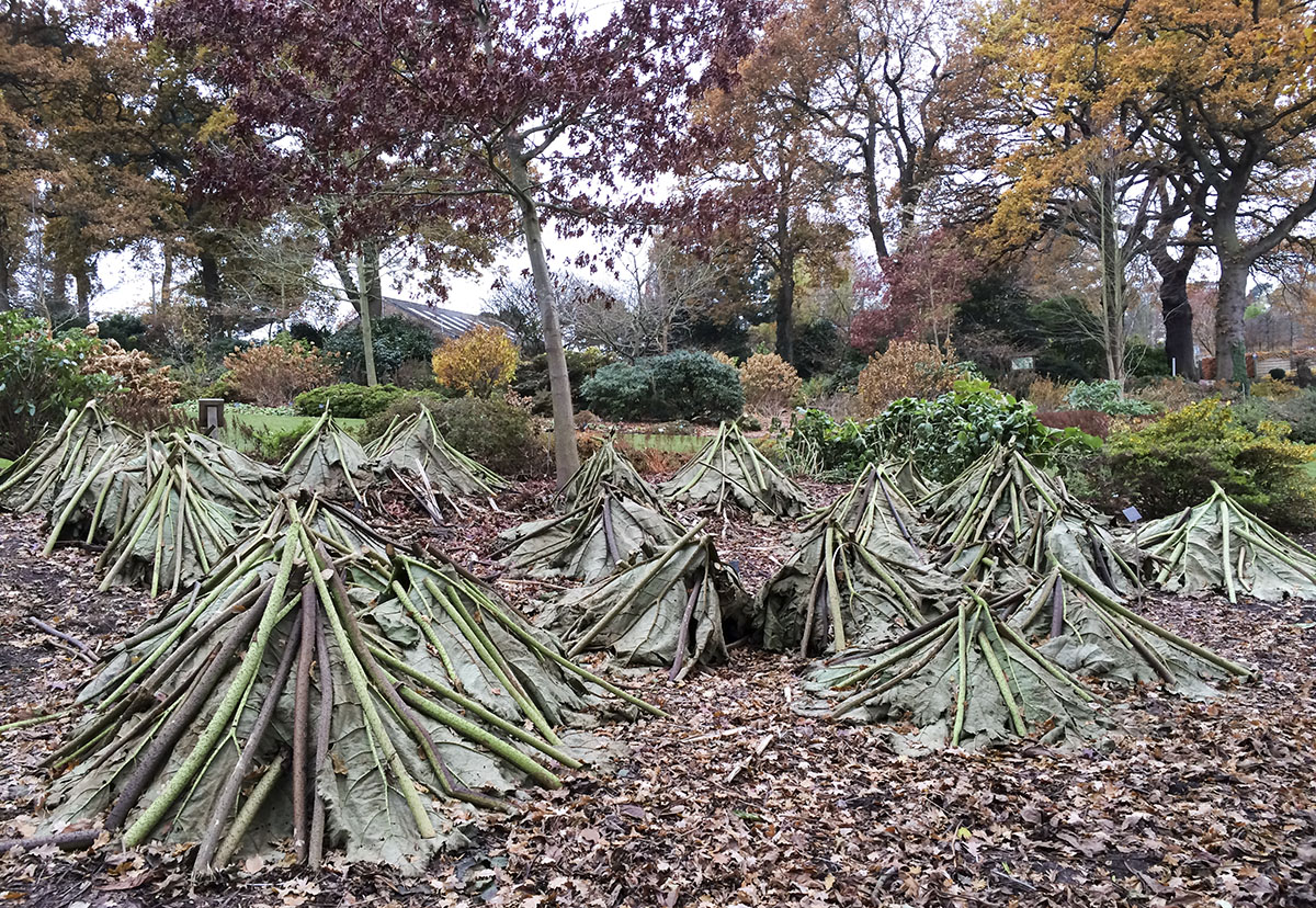 Gunnera manicata put away for the winter.  Wisley Gardens, 3 December 2013.