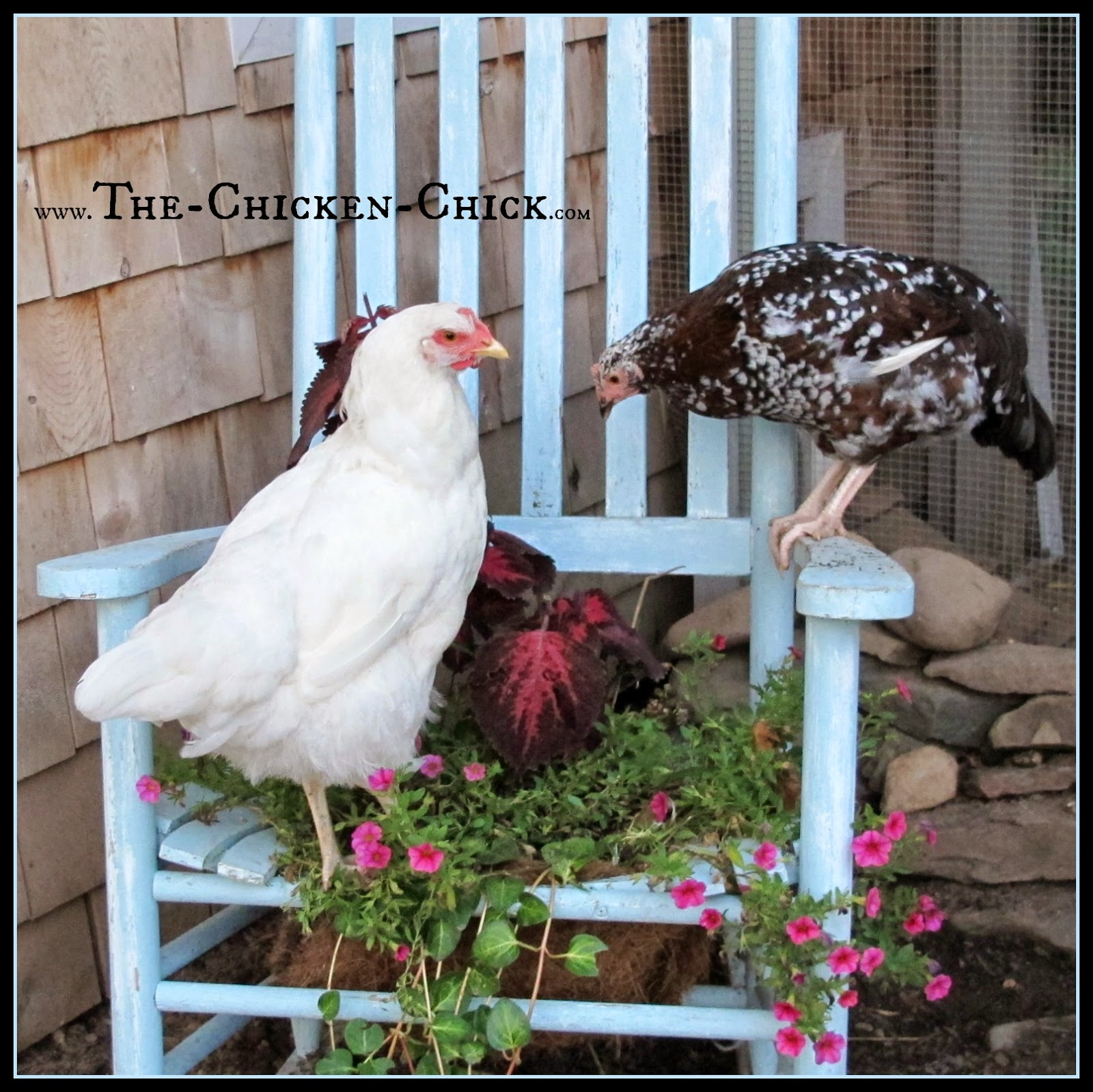 20+ Winter Boredom Busters For Backyard Chickens!