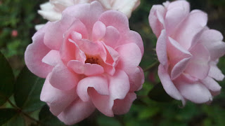 Pink Rose double